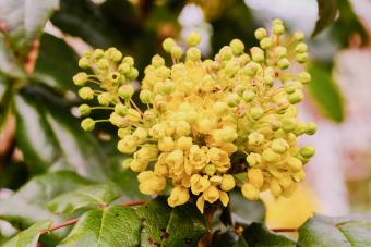 Beautiful blooming yellow mahonia