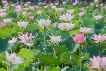 The lotus blossom in summer