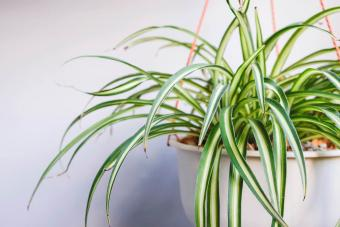 Spider Plant Care Tips for a Healthy Plant