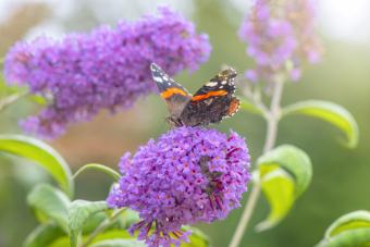 Butterfly collecting pollen from a purple Buddleja
