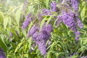 Beautiful summer flowering Buddleja