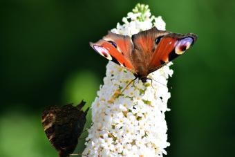 Peacock butterflys on buddleia flower in sunshine