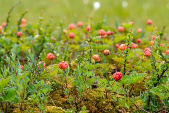 Red cloudberries growing in the moss