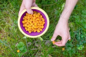 Female hand gathering cloudberries in a bowl