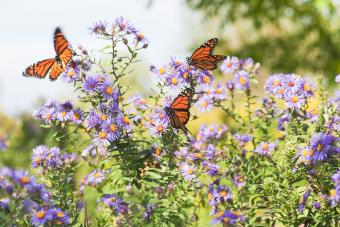 Aster Flowers: Grow and Care for These Star-Shaped Beauties