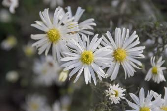 Aster ericoides white heath asters