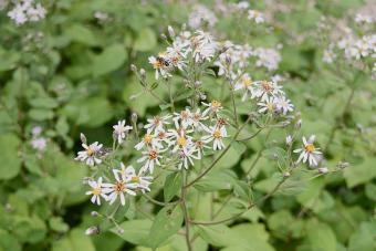 aster macrophyllus with white flowers