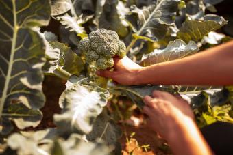 Fall Vegetable Growing human hand picking broccoli