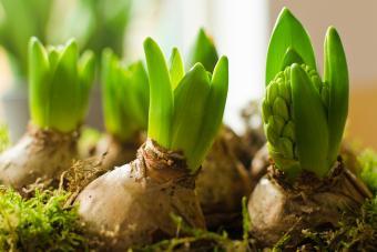 Fall Bulbs Hyacinth