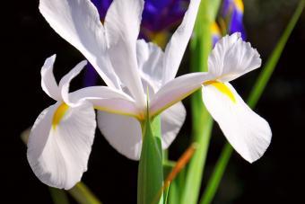 Fall Bulbs White Dutch Iris flowers