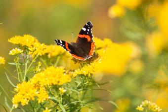 red admiral butterfly feeding on goldenrod