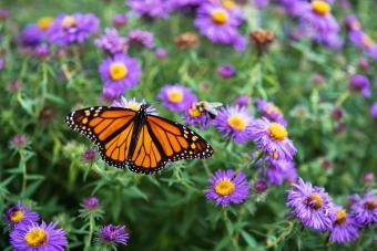 Monarch Butterfly on Purple Aster Flowers