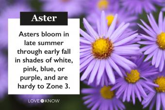 Growing Asters in Your Garden
