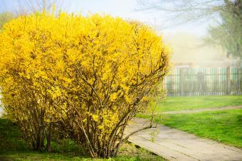 Yellow Forsythia bush at gardens background.