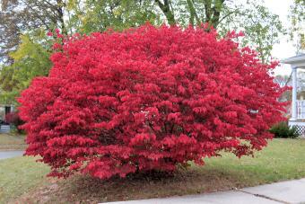 Large burning bush in full autumn bloom