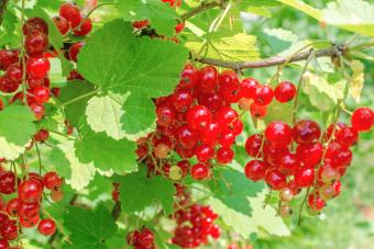 Red currants on shrub