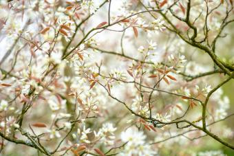 Amelanchier, also known as shadbush, shadwood or shadblow, serviceberry or sarvisberry, or just sarvis, juneberry, saskatoon, sugarplum or wild-plum, and chuckley pear