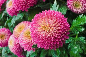 Pink pompons chrysanthemum