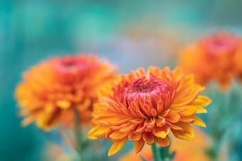 Sarah Mum Flowering