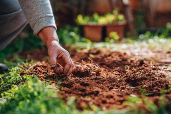 When and How to Plant Bulbs (By Season)