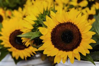 Sunflower Guide: Add Some Sunshine to Your Garden
