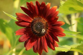Red Courtesan Sunflower