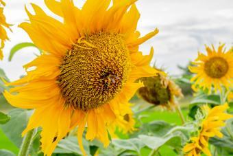Mammoth Gray Striped Sunflower