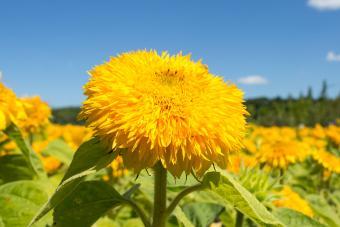 Teddy Bear Sunflower