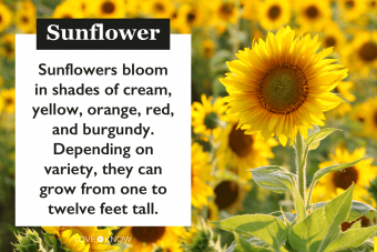 Sunflower characteristics