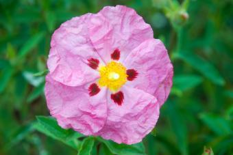 Cistus Purpureus Flower