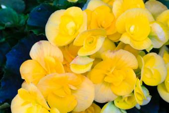 Begonia yellow flowers closeup
