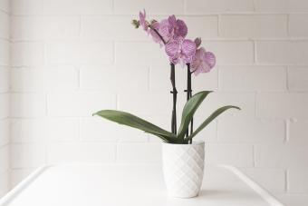 Purple Phalaenopsis Orchid In On White Table Against Painted Brick Wall Background