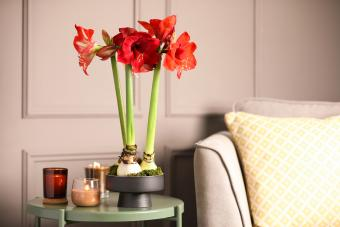 Beautiful red amaryllis flowers on table in room