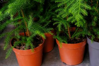 Araucaria Plant on flowerpot for sale in the store.