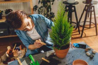 Woman growing lemon cypress trees indoors as houseplant.