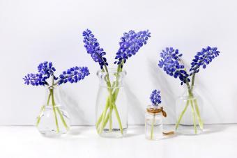 Tender blue muscari flowers