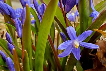 Purple Siberian Squill Spring Flowers