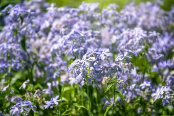 Wild blue phlox flowers
