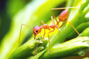 red fire ant worker on tree