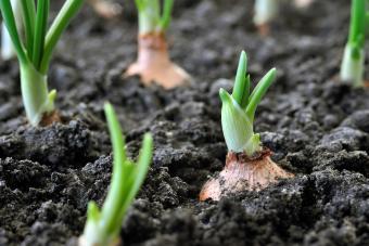 close-up of growing onion plantation