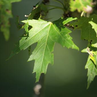 Silver Maple Leaf