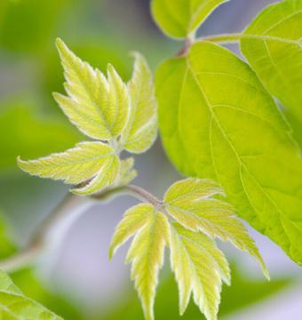 Box Elder Leaf