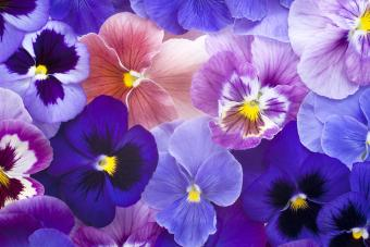Violet Flowers 101: Facts, Images & Types