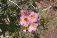 Phacelia bicolor Torr. ex S. Wats. - twocolor phacelia