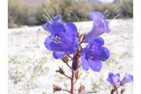 Phacelia campanularia Gray - desertbells