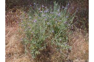Solanum-4.jpg