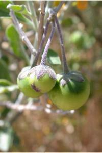 Solanum-5.jpg