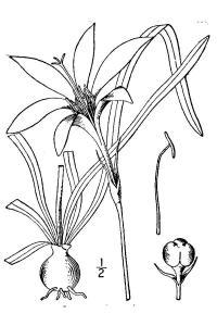 Zephyrflower