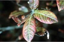 Vaccinium corymbosum L. - highbush blueberry