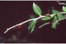 Vaccinium elliottii Chapman - Elliott's blueberry